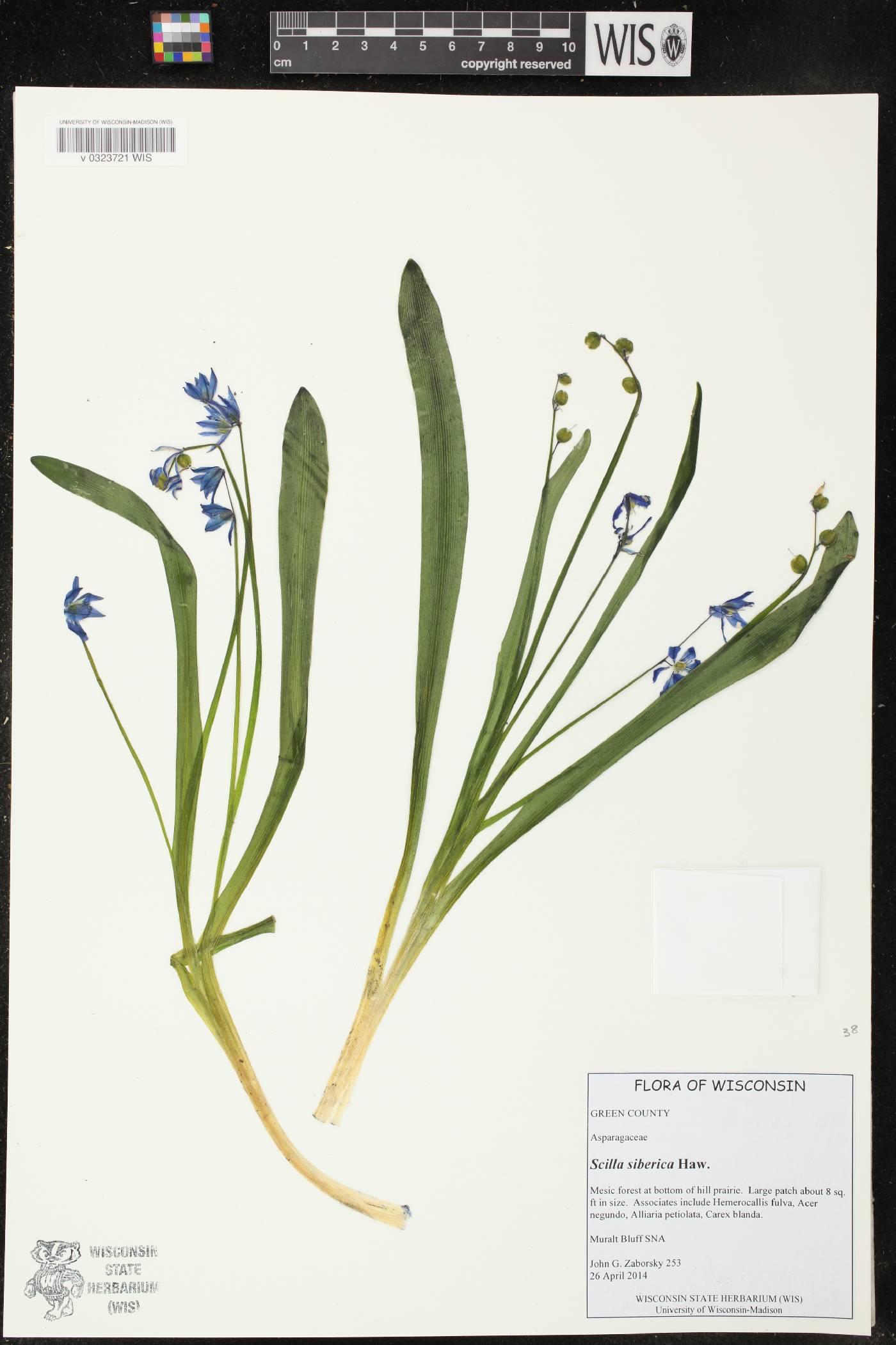 Scilla sibirica image