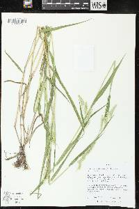 Image of Eriochloa villosa