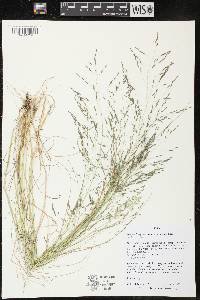 Image of Eragrostis pectinacea