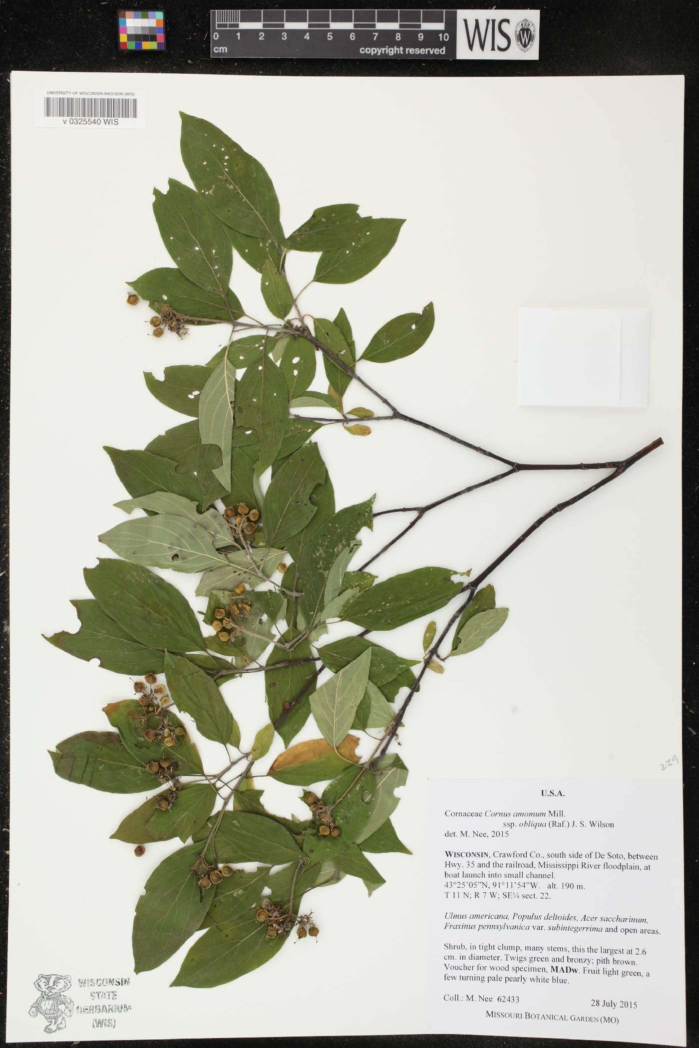 Cornus amomum subsp. obliqua image