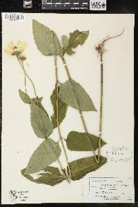 Image of Helianthus