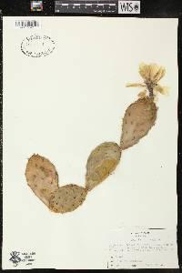 Image of Opuntia