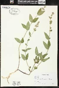 Image of Stachys arenicola