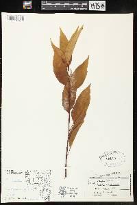 Image of Prunus serotina var. serotina