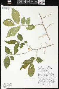 Image of Ulmus pumila x u. rubra