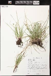 Image of Carex deflexa