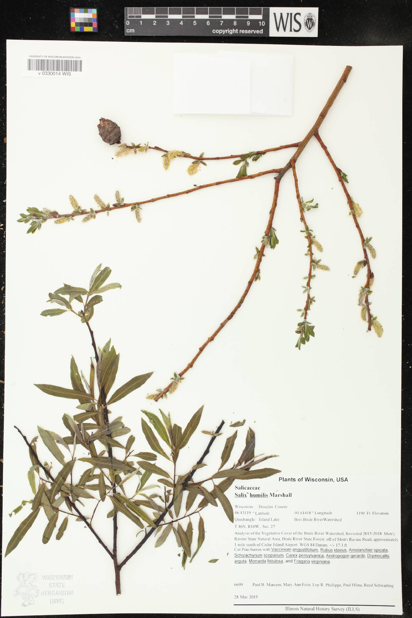 Salix humilis image