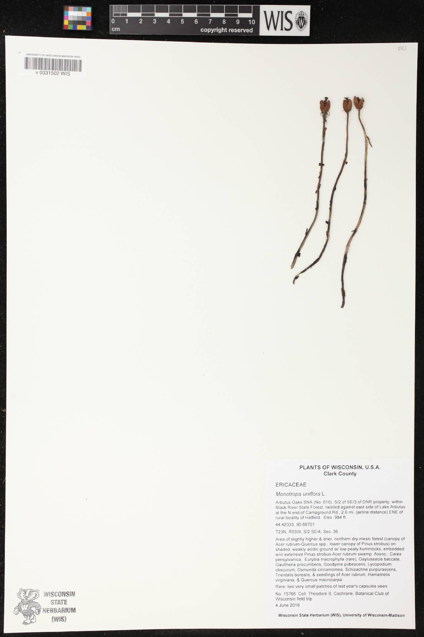 Monotropa uniflora image