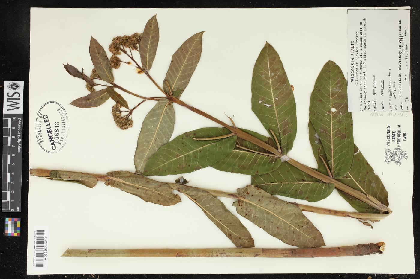 Apocynum cannabinum var. hypericifolium image