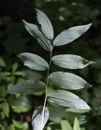 Image of Polygonatum pubescens