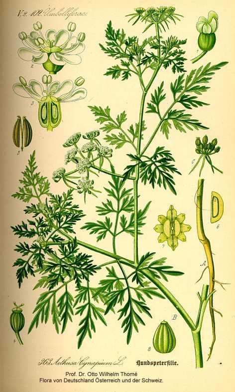 Aethusa image