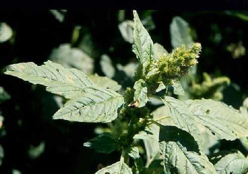 Amaranthus image