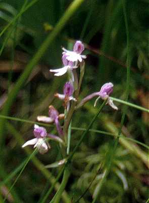 Amerorchis rotundifolia image