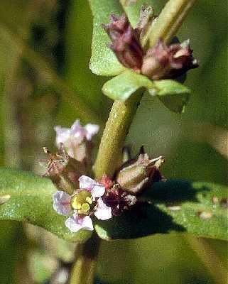 Ammannia robusta image