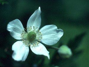 Anemone virginiana var. alba image