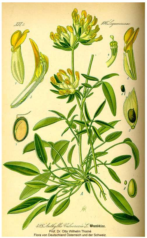 Anthyllis vulneraria subsp. vulneraria image