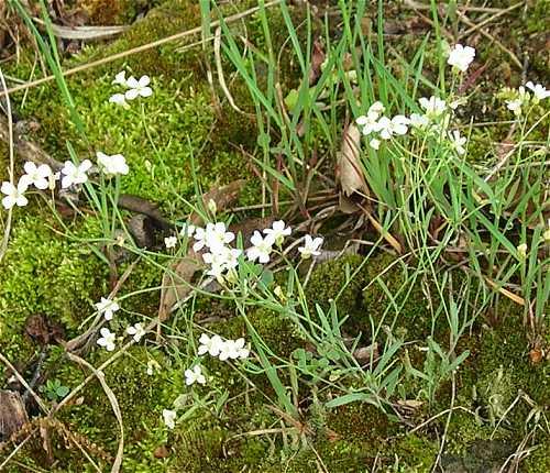 Arabidopsis lyrata subsp. lyrata image