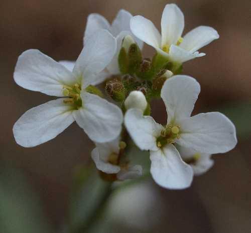 Arabidopsis image