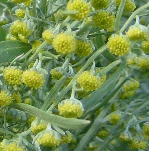 Artemisia image