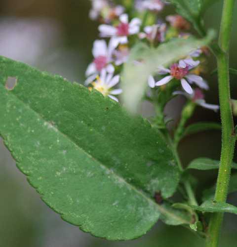 Symphyotrichum drummondii var. drummondii image