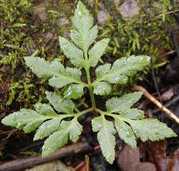 Ophioglossaceae image
