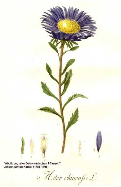 Callistephus chinensis image