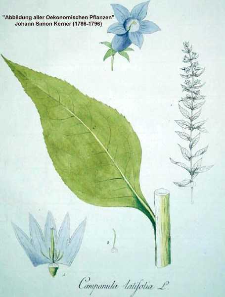 Campanula latifolia image