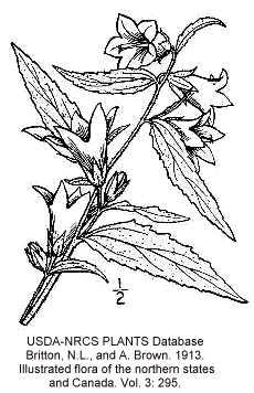 Campanula trachelium image