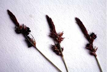 Carex lucorum var. lucorum image