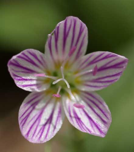 Montiaceae image