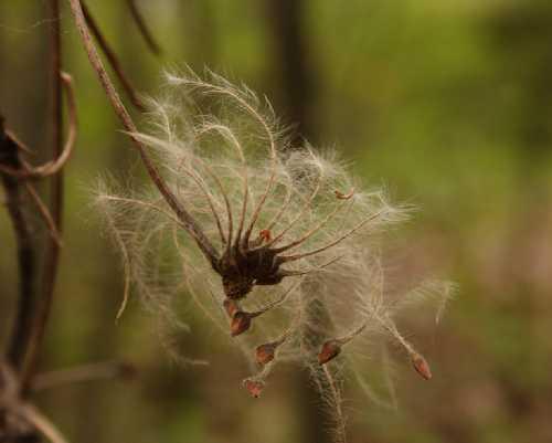 Clematis occidentalis var. occidentalis image