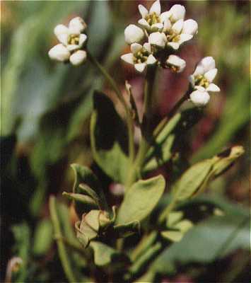 Santalaceae image