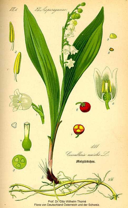 Convallaria majalis var. majalis image