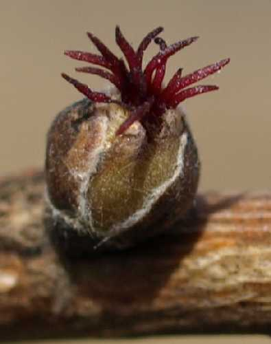 Corylus cornuta subsp. cornuta image