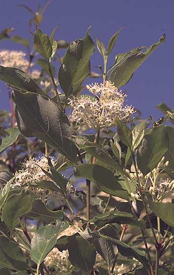 Cornus foemina subsp. racemosa image