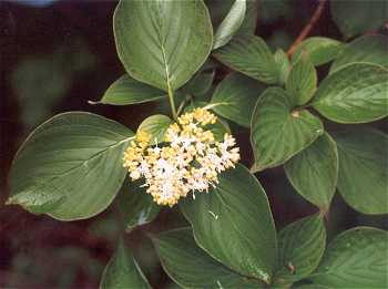 Cornaceae image
