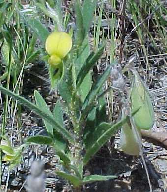 Crotalaria image