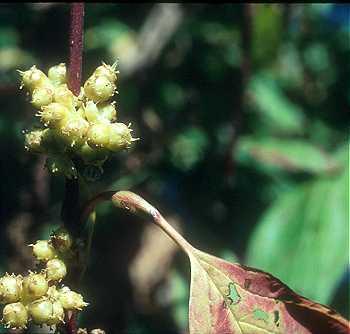 Cuscuta gronovii var. gronovii image