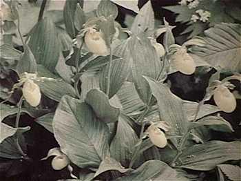 Cypripedium x favillianum image