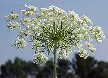 Apiaceae image