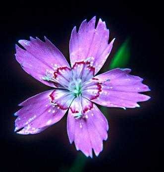 Dianthus image