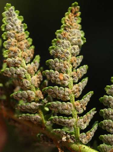 Dryopteris fragrans image
