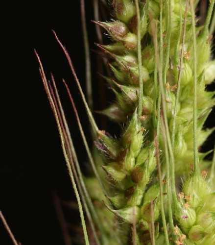 Echinochloa image