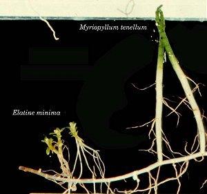 Elatine minima image