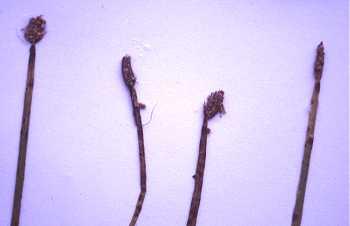 Eleocharis image