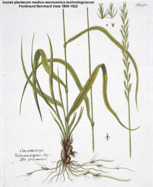 Elytrigia repens Couch Grass PFAF Plant Database