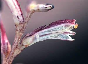 Epifagus image