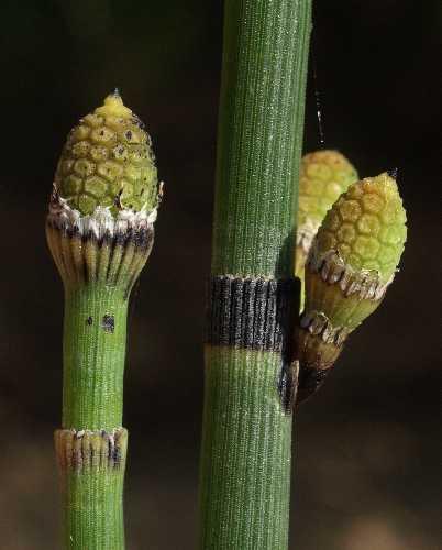 Equisetum hyemale subsp. affine image