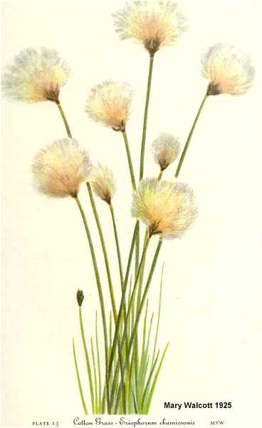 Eriophorum chamissonis image