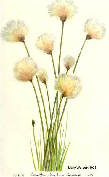 Eriophorum chamissonis image